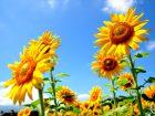 太陽に向かって綺麗に咲くひまわり
