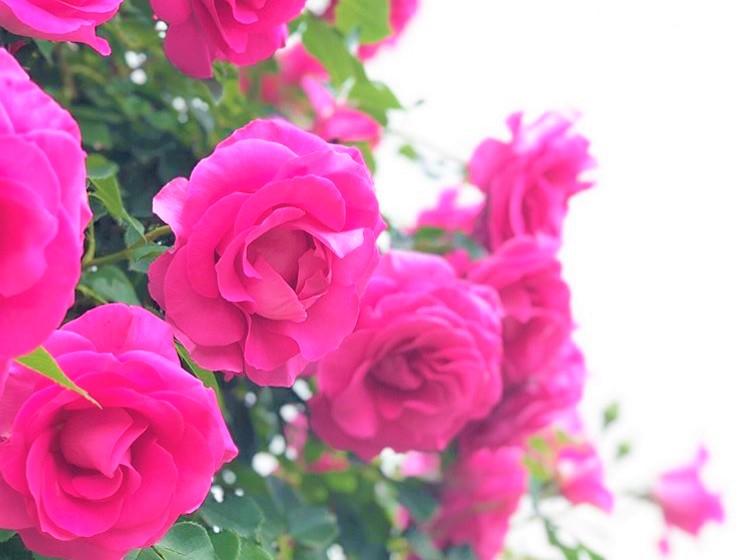 あしかがフラワーパークのお花畑のピンクのバラの画像