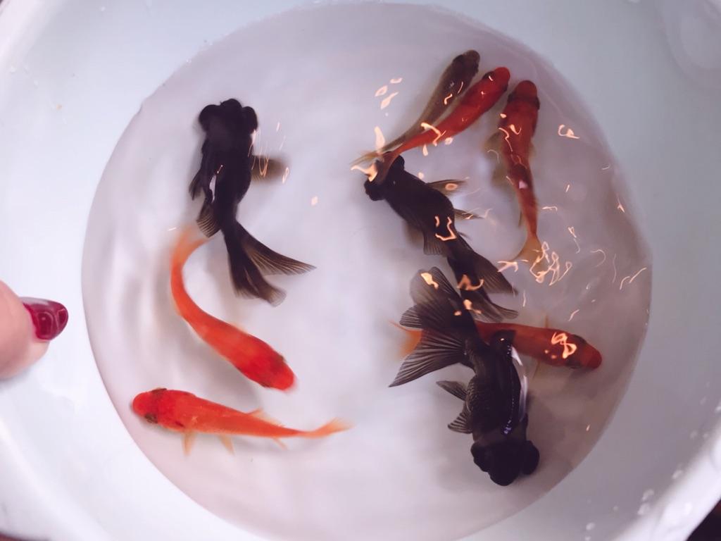 """金魚すくいが苦手なわたしでもたくさん金魚がとれた!""""金魚すくいのコツ""""を実践してみた感想☆"""