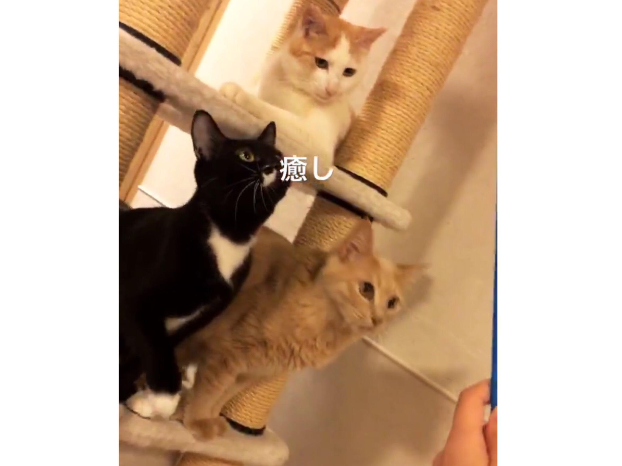 猫カフェきゃりこ吉祥寺店のねこの画像3