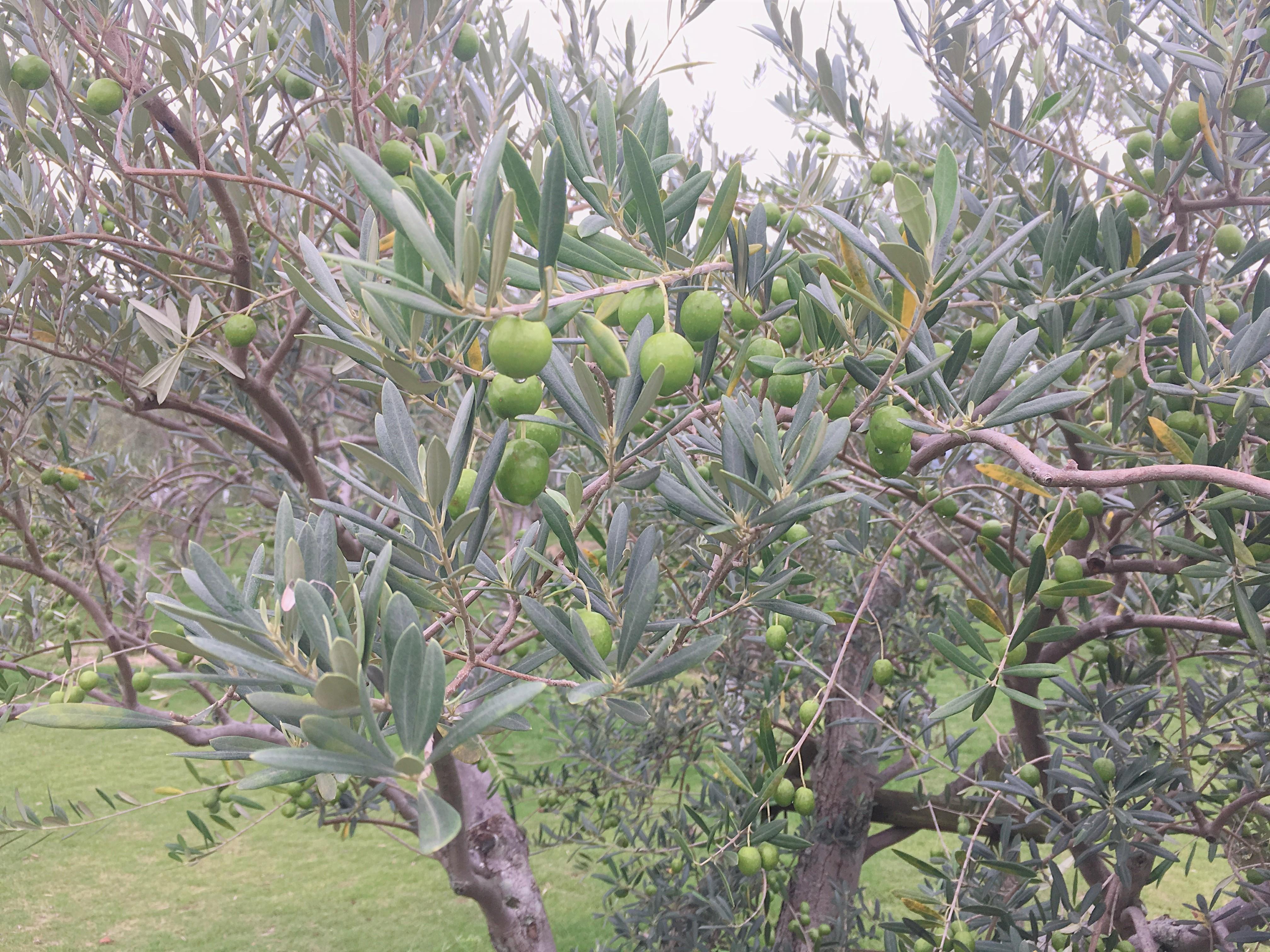 小豆島オリーブ公園のオリーブの木の画像