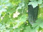 夏の定番野菜ゴーヤが実っている画像